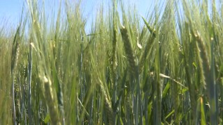 Montana Ag Network: Molson-Coors barley crop looking good as harvest approaches