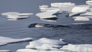 Whale found in Arctic could be susceptible to COVID-19, researchers suggest