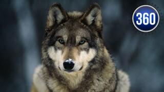 360_gray wolves.jpg