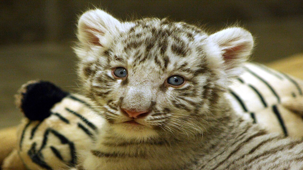 360 VIDEO: Hang out with Zoo's baby white tiger