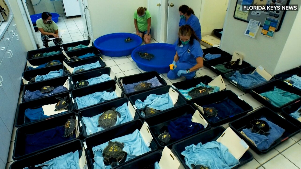 Dozens of endangered sea turtles rescued from cold New England beaches, flown to Florida