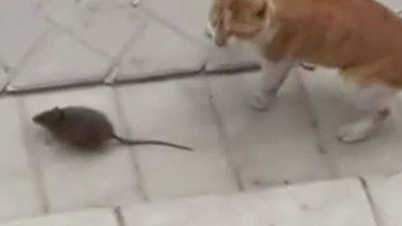 Feisty rodent attacks scared cat