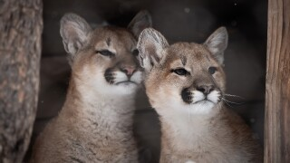Cheyenne Mountain Zoo heartbroken by unexpected loss of young mountain lion