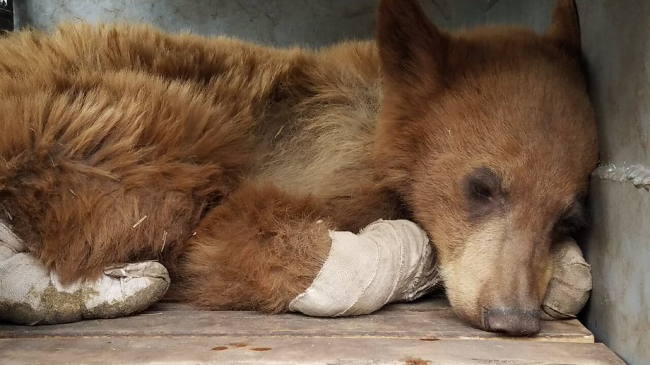 Baby bear burned in wildfire recovering 'very well,' will be released soon