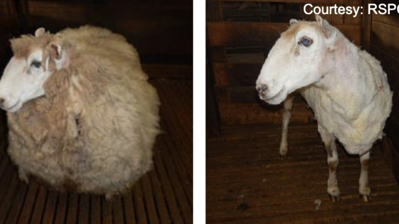 Abandoned sheep rescued, finally gets haircut and loses 44 pounds of wool