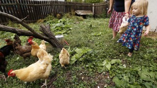 Salmonella outbreaks in 48 states linked to backyard poultry