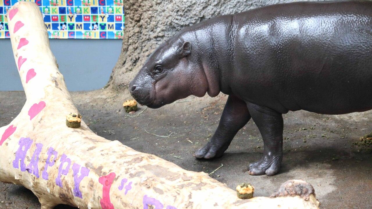 Pygmy hippo celebrates first birthday
