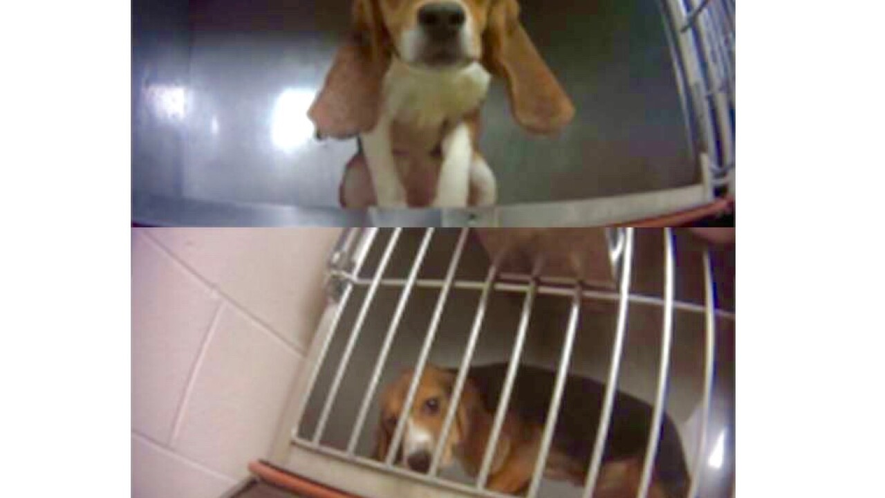 Michigan lab stops testing on beagles following US Humane Society investigation