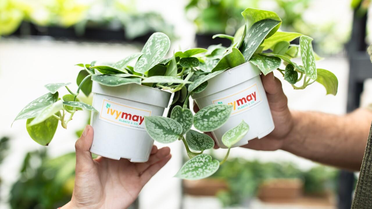 Ivy May - Greenhouse