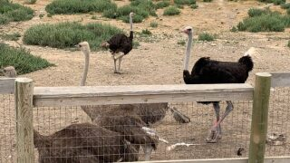 Central Coast Living: Visit OstrichLand USA in Solvang