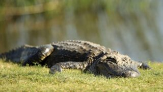 Man Found A Real Alligator Relaxing On An Alligator Float In The Pool Of His Rental House