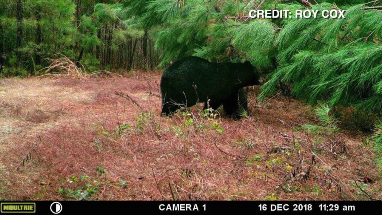 How an increase of bear sightings is causing problems on Central Virginia roads