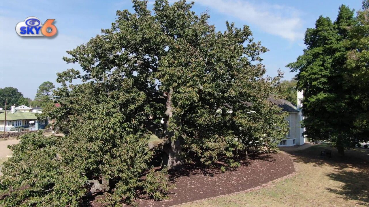 A Tree Grows in Colonial Heights: 'It's 300 years old and has seen an awful lot ofhistory'