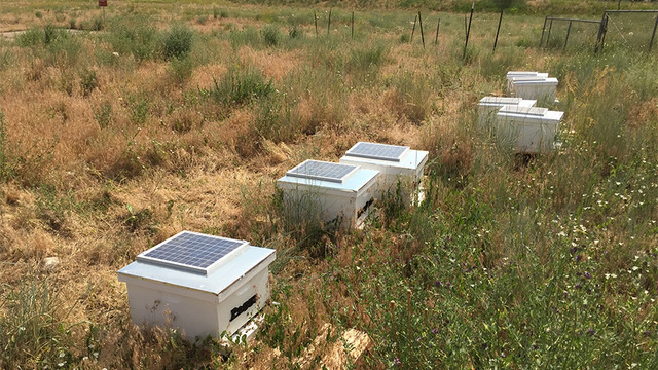 Faculty, students at CU Boulder work to save bees