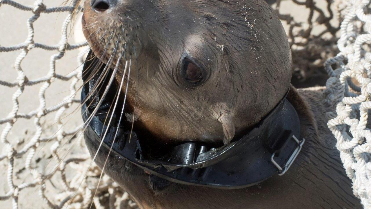Sea Lion Pup Stuck in Diver's Mask-2.jpg