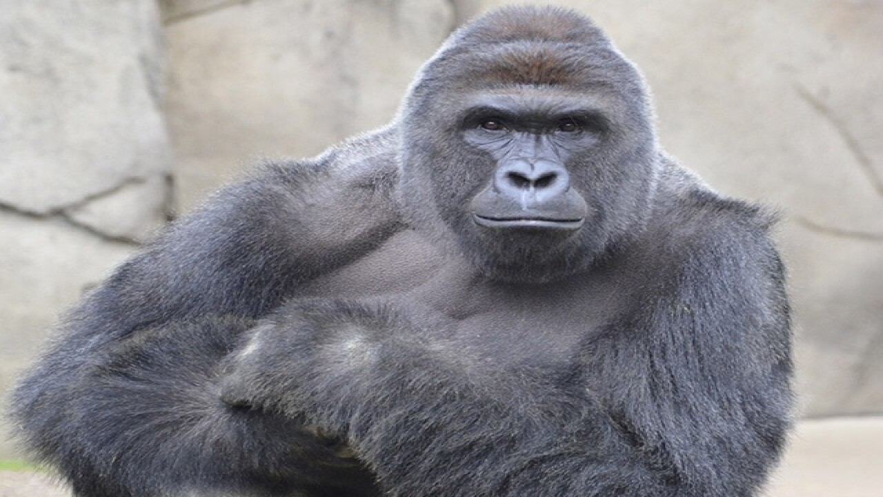 In presidential polls, how's Harambe doing?