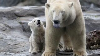 Study suggests polar bears will struggle to survive by 2100