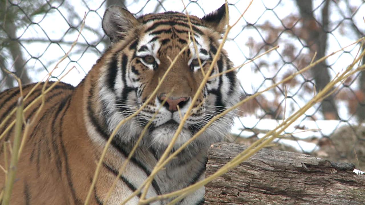 zoo tiger.PNG