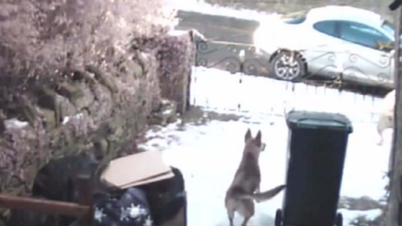 Thief stealing from yard greeted by Bullmastiff