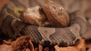 Two-headed snake on exhibit at Frankfort wildlife center