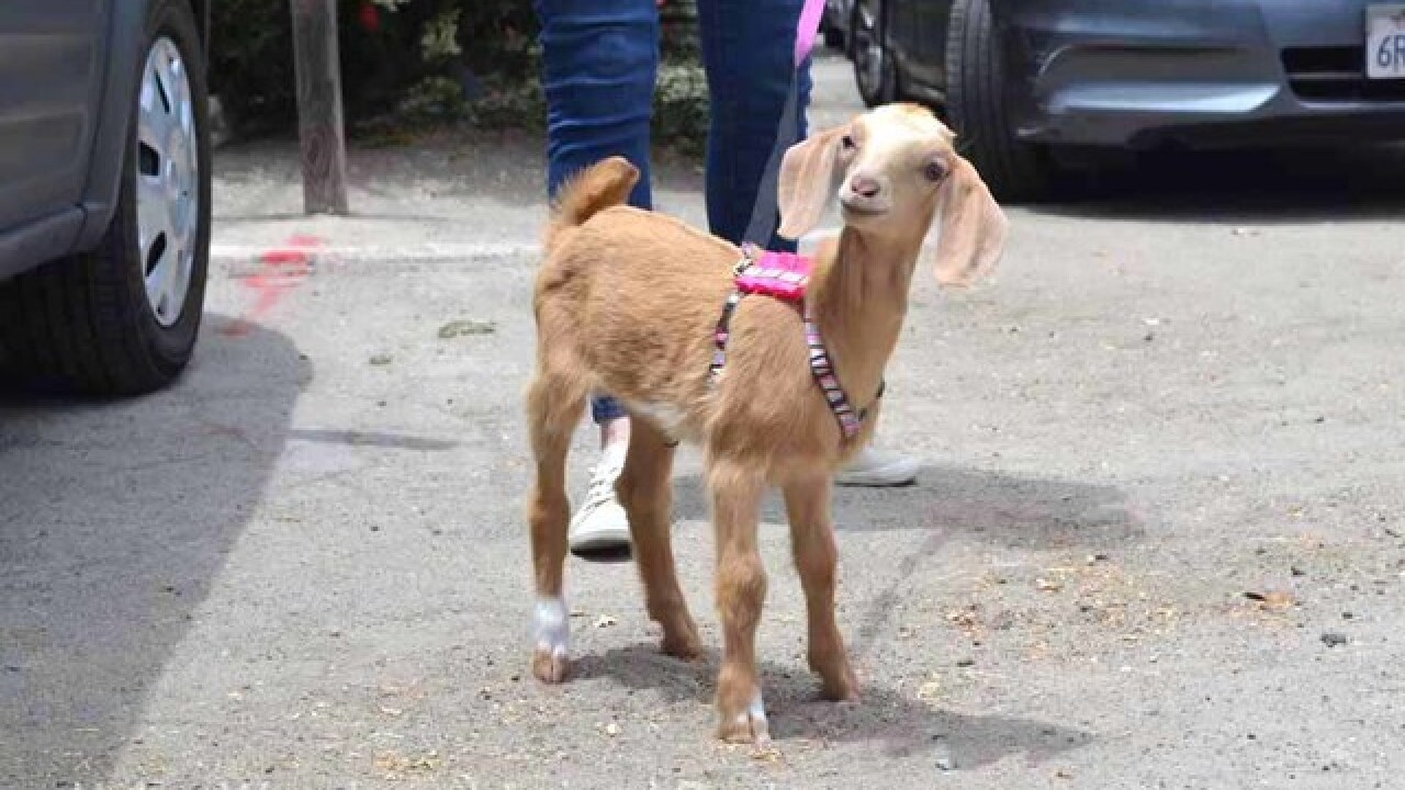 Baby goat found in hot car will now help kids