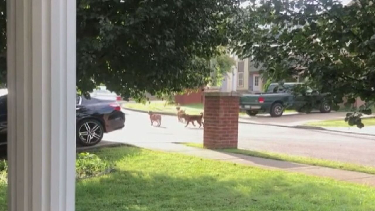 Dogs attacking in West Nashville