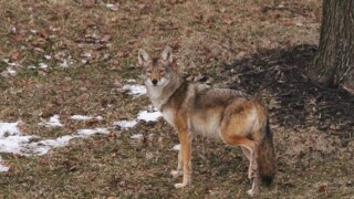 Deer Park police warn residents to keep an eye on pets after spotting coyote