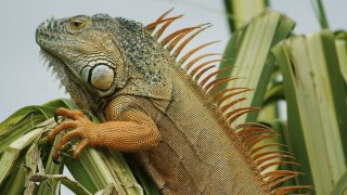 Florida researchers bash in heads of overpopulating iguanas