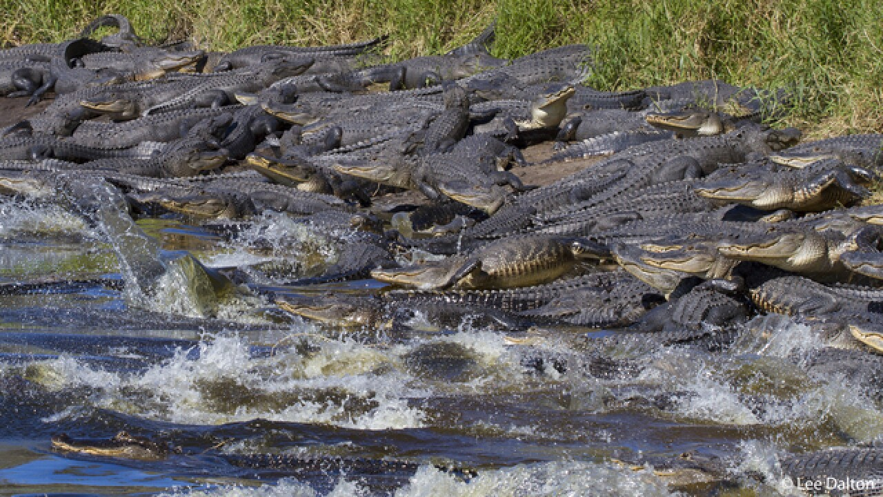 Gators take over sinkhole at Myakka River Park
