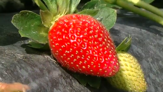 Freeze threatens crops on strawberry farms