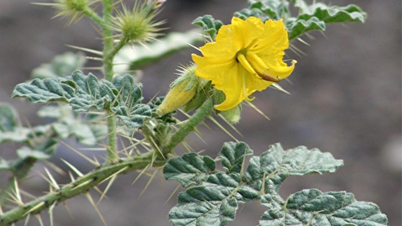 Buffalo bur! This Arizona plant can kill you