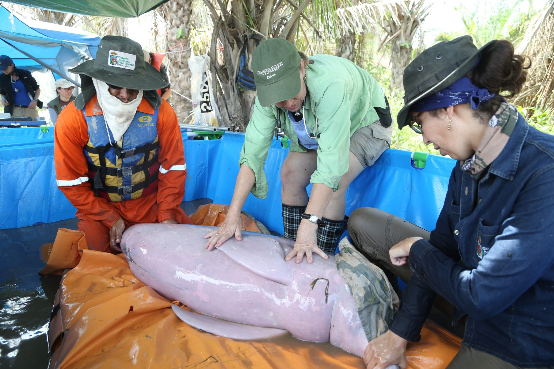 Veterinarians performed comprehensive medical exams on the dolphins prior to transport - The Maryland Zoo.JPG