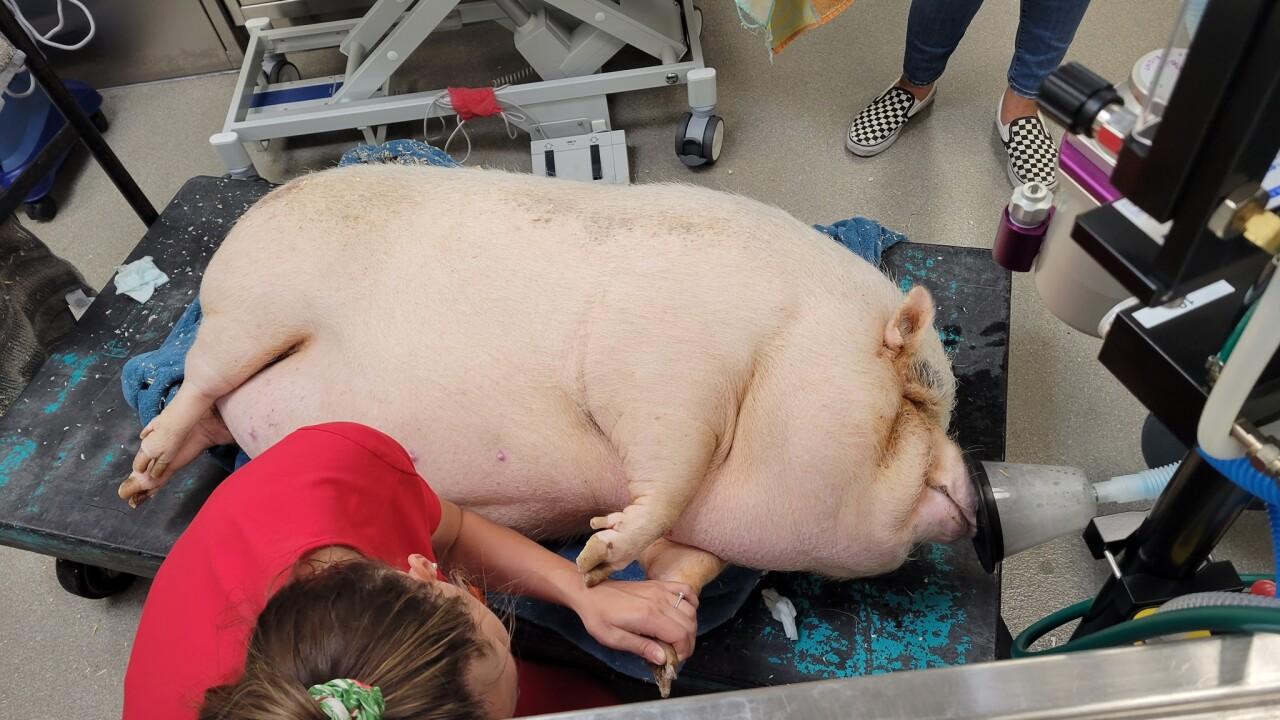 CUPCAKE THE PIG - SOURCE ANIMAL FOUNDATION (1).jpg