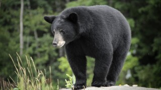 Black bear in the wilderness on a rock