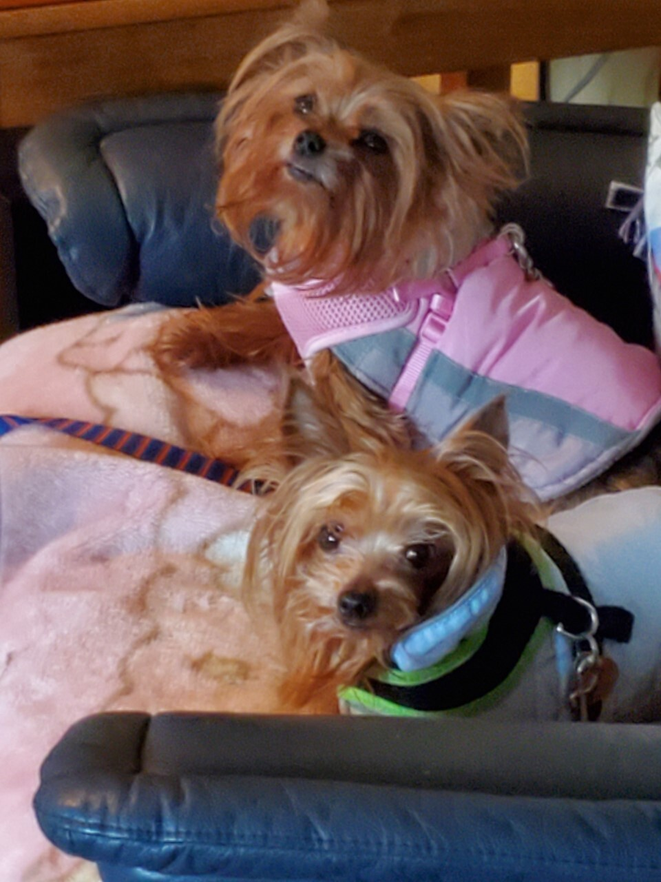 Elvis and Gracie Lu 10 year old Yorkies.jpg