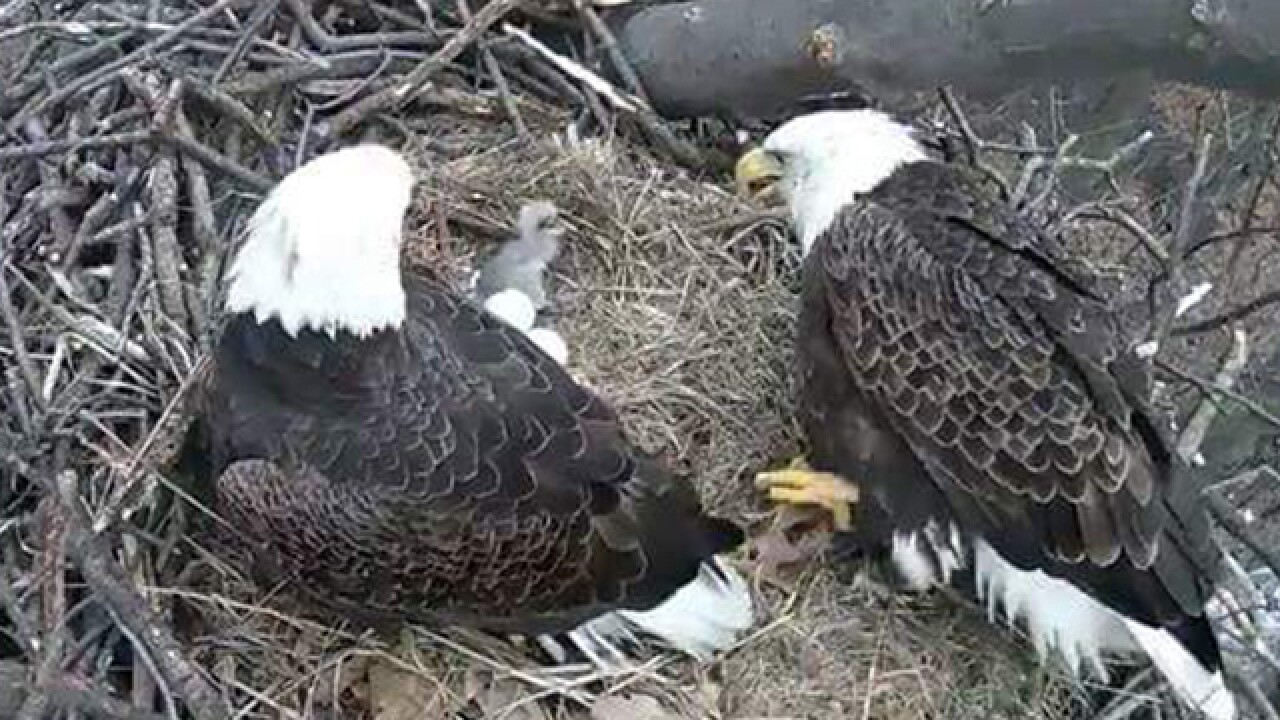Ohio bald eaglets have hatched