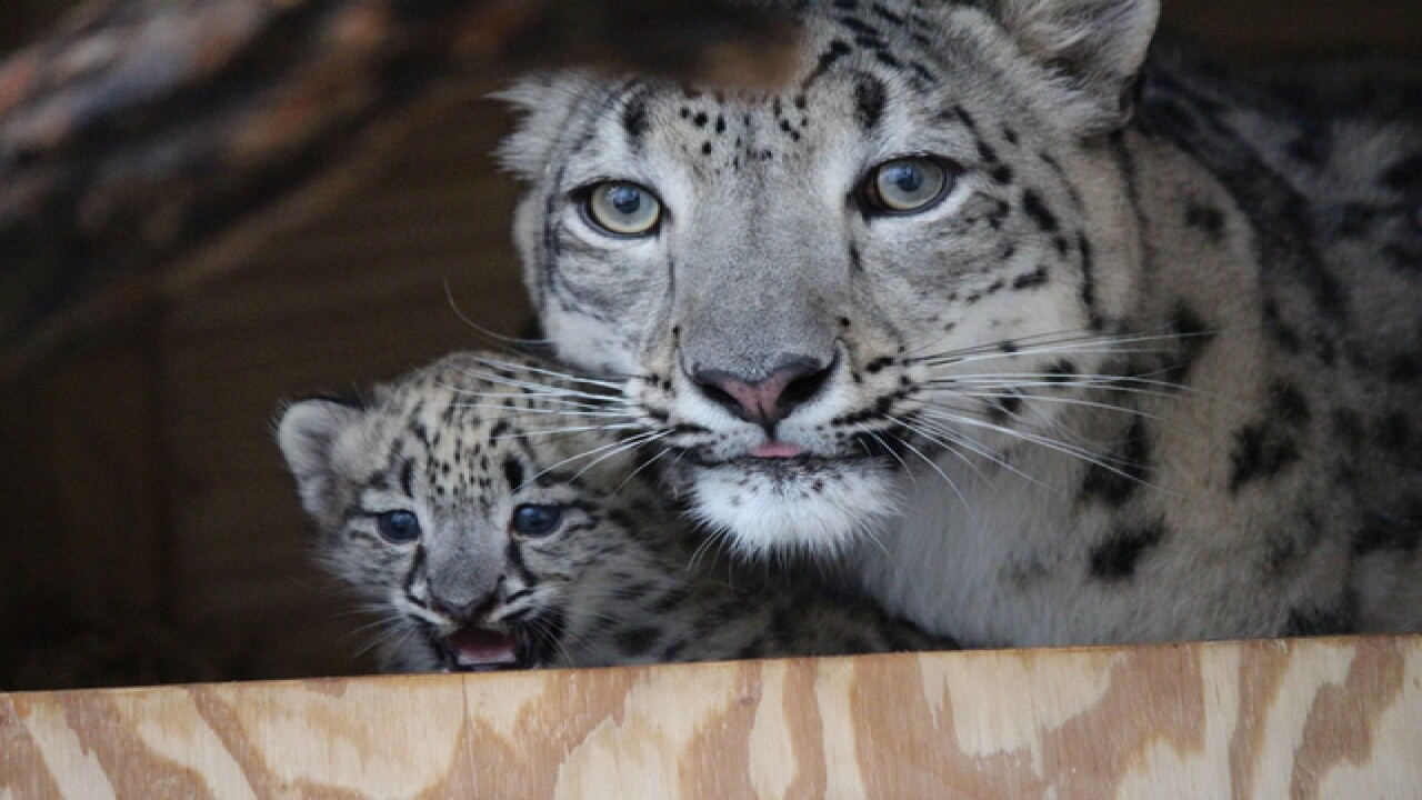 Henry Doorly Zoo welcomes snow leopard cub