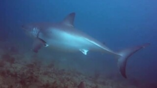 WPTV-GREAT-WHITE-SHARK-PALM-BEACH.jpg
