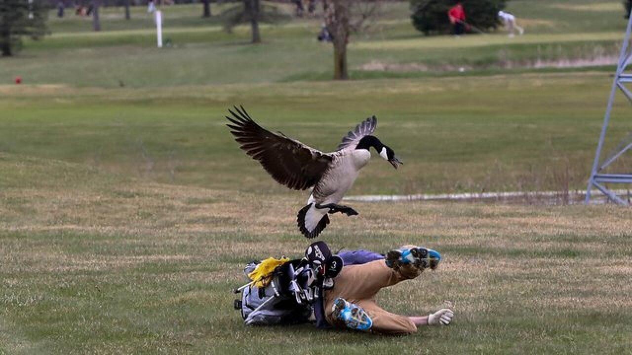 Goose levels high school golfer in Michigan