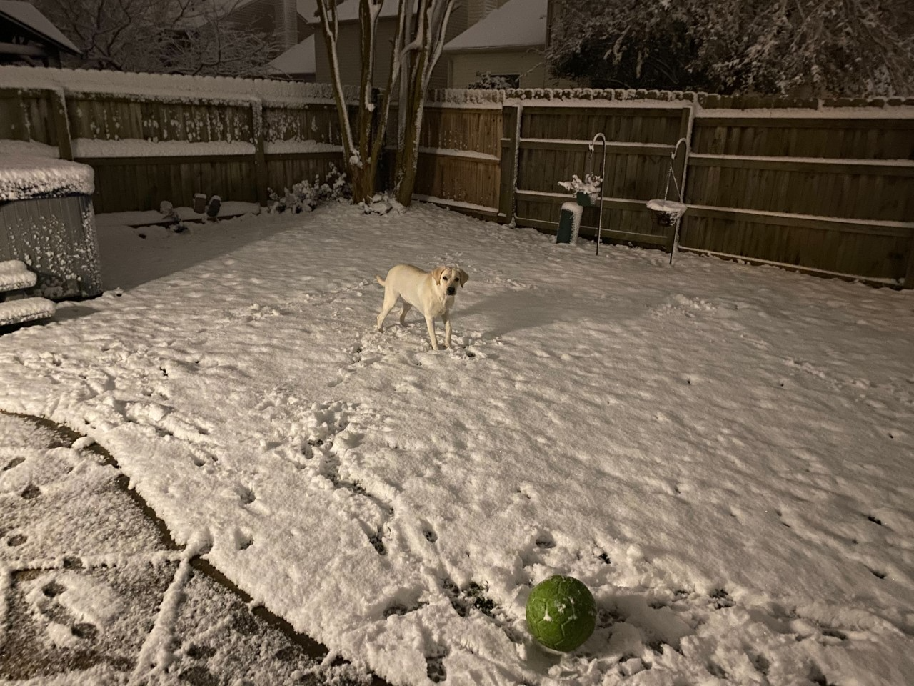 1 year old Lab Lola's first time seeing snow.png