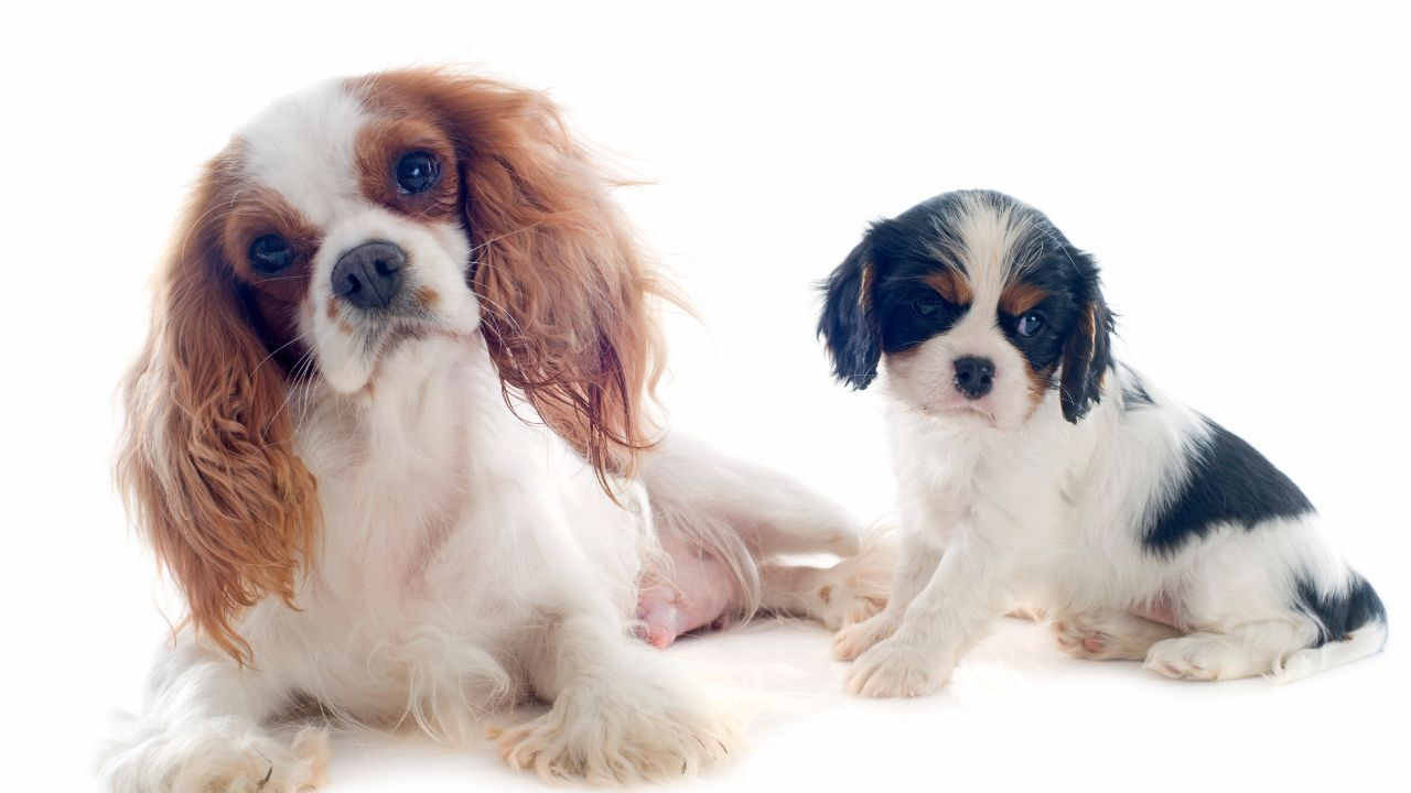 Cavalier King Charles Spaniels (MTN News stock photo)