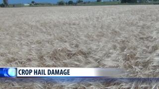 Crop hail damage reported across Montana's Golden Triangle