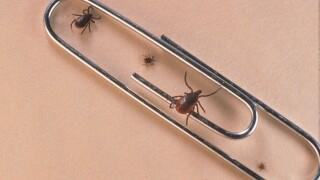 Ticks compared to paper clip