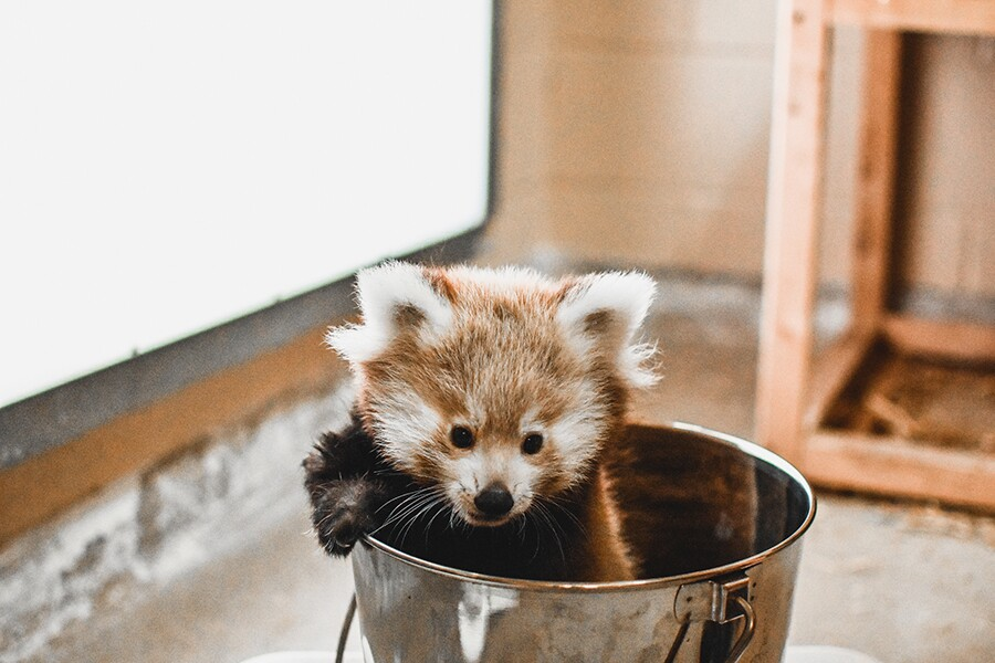 Photos: Virginia Zoo announces names of the Red Pandatriplets