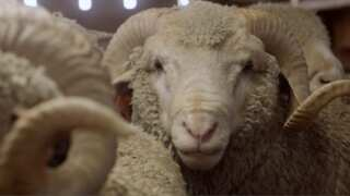 Sheep to Shelf   Duckworth   Under the Big Sky