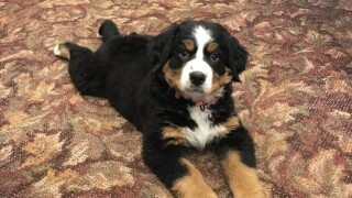 Puppy joins funeral home's 'grief support team'