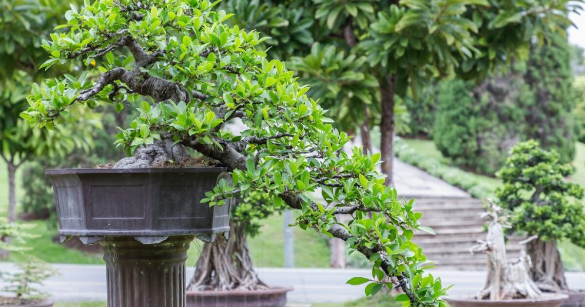 30th Annual Bonsai Show Taking Place This Weekend At Cheekwood