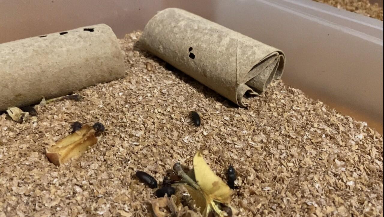 Beetles in Zay's farm
