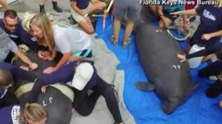 Twin manatees returned to Florida Keys waters