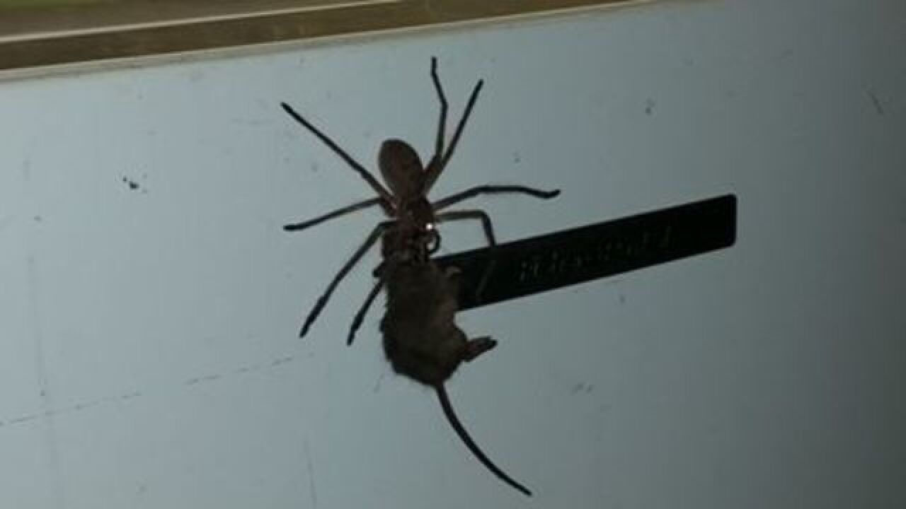 Horrifying footage shows giant spider carrying mouse